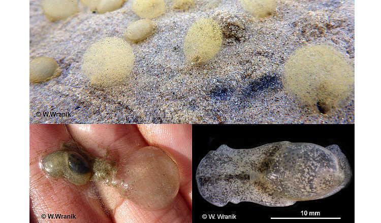 Rostocker Forscher entdecken neue Schnecken-Art in der Ostsee