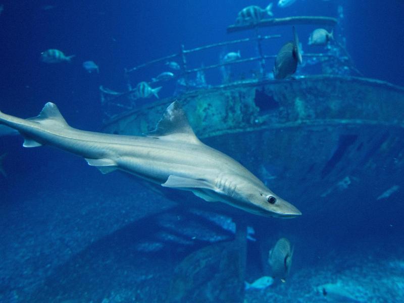 Glatthaie im Ozeaneum sollen Nachwuchs bekommen