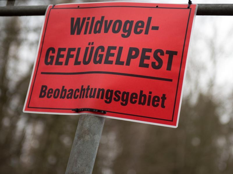 Bereits 25 Vogelgrippefälle auf Rügen