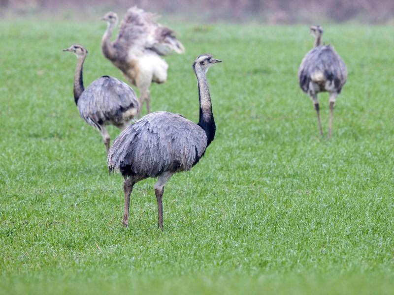 Weniger wildlebende Nandus in Norddeutschland gezählt