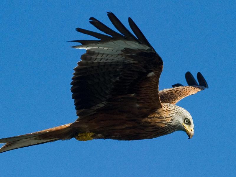 Vogel-Experten zählen Rotmilan-Vorkommen im Nordosten neu