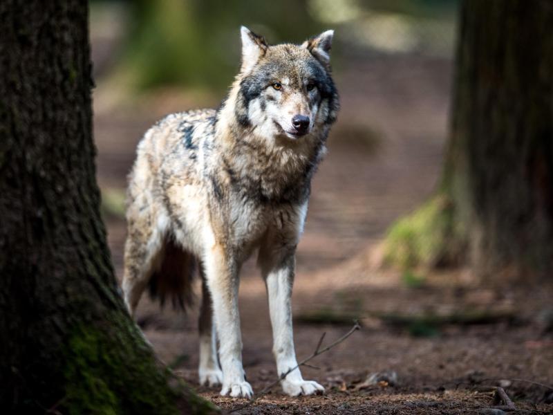CDU-Politikerin Schlupp: Zäune reichen gegen Wolf nicht aus