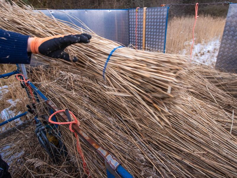 Schilfrohrernte in Mecklenburg-Vorpommern geht zu Ende