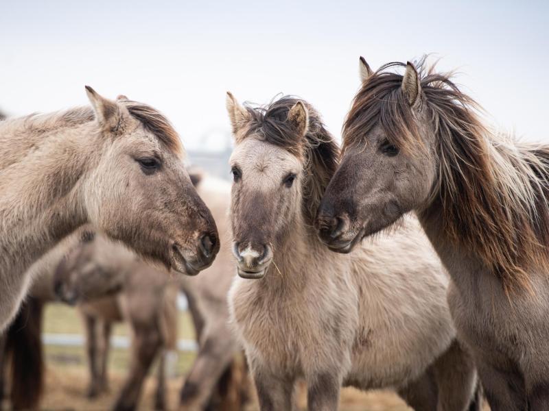 Konik-Wildpferde an Ivenacker Eichen angesiedelt