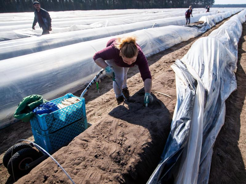 Start in die Spargelsaison: Hof Denissen beginnt mit Ernte